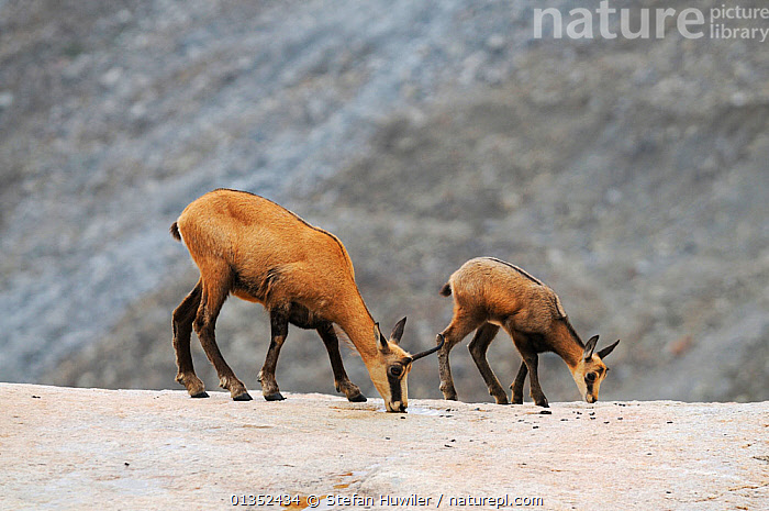 Chamois (Rupicapra rupicapra) female with young licking salt to gain minerals their diet does not provide. Grimsel, Bern, Switzerland, Europe, July.  ,  ARTIODACTYLA,BEHAVIOUR,BOVIDS,EUROPE,FEEDING,GOATS,JUVENILE,MAMMALS,MOTHER BABY,SWITZERLAND,TWO,VERTEBRATES,YOUNG  ,  Stefan Huwiler
