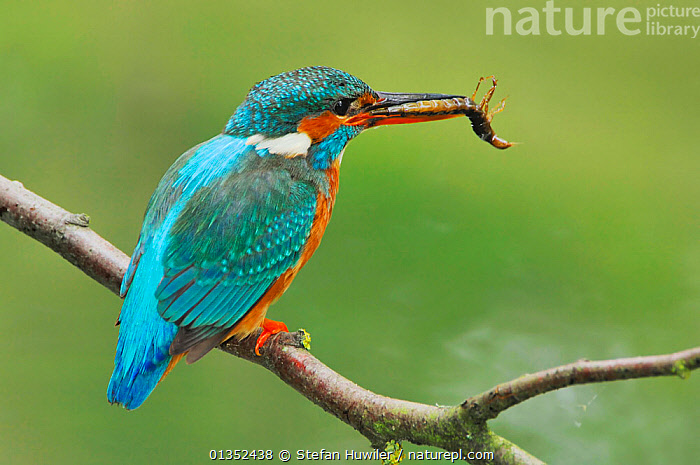 Common Kingfisher (Alcedo atthis) adult with dragonfly larva prey. Switzerland, April.  ,  BIRDS,EUROPE,INSECTS,KINGFISHERS,PLUMAGE,PREY,SWITZERLAND,ALCEDINIDAE,BEHAVIOUR,BLUE,FEEDING,INVERTEBRATES,PREDATION,VERTEBRATES  ,  Stefan Huwiler