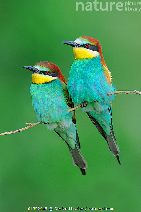 European Bee-eater (Merops apiaster) perched. Hungary, Europe, May.  ,  BEE EATERS,BIRDS,EUROPE,FRIENDS,PORTRAITS,SWITZERLAND,TWO,VERTICAL,COLOURFUL,VERTEBRATES  ,  Stefan Huwiler