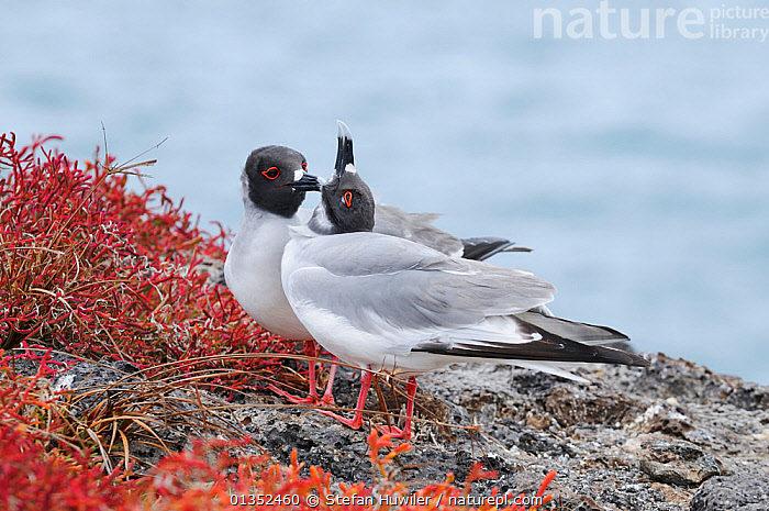 Swallow-tailed Gull (Creagrus furcatus) pair grooming. Galapagos Islands, Ecuador, South America.  ,  BEHAVIOUR,BIRDS,GALAPAGOS,GROOMING,GULLS,LARIDAE,MALE FEMALE PAIR,SEABIRDS,SOUTH AMERICA,TWO,VERTEBRATES,SOUTH-AMERICA  ,  Stefan Huwiler