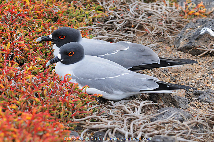 Swallow-tailed Gull (Creagrus furcatus) pair. Galapagos Islands, Ecuador, South America.  ,  BIRDS,GALAPAGOS,GULLS,LARIDAE,MALE FEMALE PAIR,PAIR,SEABIRDS,SOUTH AMERICA,TWO,VERTEBRATES,SOUTH-AMERICA  ,  Stefan Huwiler