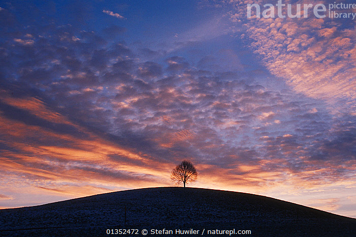 Linden tree (Tilia sp.) with bare branches at sunset. Switzerland, Europe.  ,  ARTY SHOTS,BACKGROUNDS,CLOUDS,EUROPE,ONE,PLANTS,SKIES,SWITZERLAND,SYMMETRY,DICOTYLEDONS,NOBODY,SHADOWS,SILHOUETTES,TILIACEAE,Weather  ,  Stefan Huwiler