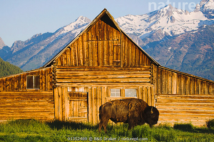 American Bison / Buffalo (Bison bison) adult in front of old wooden barn and Grand Teton range. Antelope Flats, Grand Teton National Park, Wyoming, USA, June.  ,  BUFFALOS,BUILDINGS,LANDSCAPES,MOUNTAINS,NORTH AMERICA,NP,VERTEBRATES,ARTIODACTYLA,BARNS,BOVIDS,MAMMALS,USA,National Park ,Rocky Mountains,  ,  B&S Draker