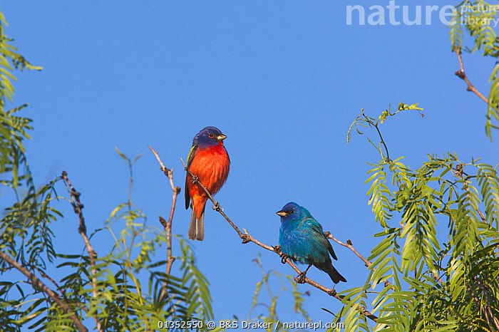 Painted Bunting (Passerina ciris) male and Indigo Bunting (Passerina cyanea) male perched. Sinton, Corpus Christi, Coastal Bend, Texas, USA, April.  ,  BIRDS,RED,TWO,USA,BLUE,BUNTINGS,COLOURFUL,MIXED SPECIES,NORTH AMERICA,SONGBIRDS,TEXAS,VERTEBRATES  ,  B&S Draker