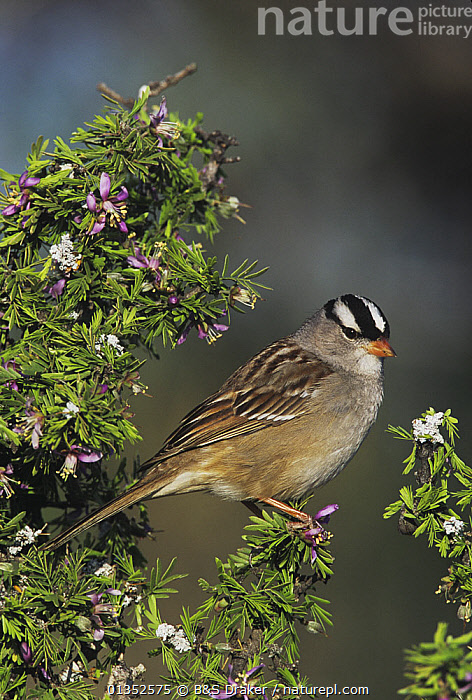 White-crowned Sparrow (Zonotrichia leucophrys) adult on blooming Guayacan (Guaiacum angustifolium). Starr County, Rio Grande Valley, Texas, USA.  ,  BIRDS,USA,VERTICAL,NORTH AMERICA,SONGBIRDS,SPARROWS,TEXAS,VERTEBRATES  ,  B&S Draker