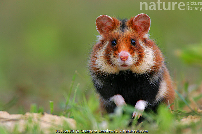 Portrait of a European Hamster (Cricetus cricetus). Lublin Highland, Poland, June.  ,  EUROPE,FLUFFY,HAMSTERS,LOOKING AT CAMERA,MAMMALS,PORTRAITS,CUTE,EASTERN EUROPE,POLAND,RODENTS,VERTEBRATES  ,  Grzegorz Lesniewski