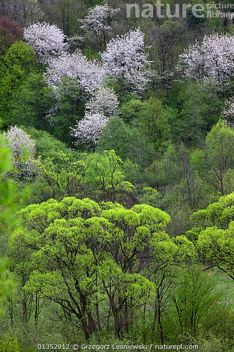 Riparian forest with Crack Willow (Salix fragilis), White Willow (Salix alba) and blooming Wild Cherry (Prunus avium). Bieszczady Mountains, the Carpathians, Poland, May.  ,  EUROPE,FORESTS,PLANTS,VERTICAL,BLOSSOM,DICOTYLEDONS,EASTERN EUROPE,LANDSCAPES,POLAND,SALICACEAE,WOODLANDS  ,  Grzegorz Lesniewski