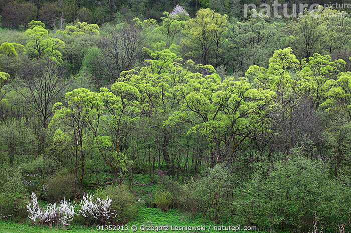 Riparian forest with Crack Willow (Salix fragilis), White Willow (Salix alba) and blooming Wild Cherry (Prunus avium). Bieszczady Mountains, the Carpathians, Poland, May.  ,  DICOTYLEDONS,EASTERN EUROPE,LANDSCAPES,POLAND,SALICACEAE,WOODLANDS,EUROPE,FORESTS,PLANTS,TREES  ,  Grzegorz Lesniewski