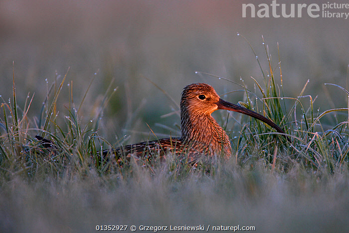 Eurasian Curlew (Numenius arquata) in wet grass lit by dawn light. Biebrza National Park, Biebrza marshes, Poland, May.  ,  Biebrza National Park,BIRDS,catalogue4,close up,CURLEWS,DAWN,DEW,EASTERN EUROPE,EUROPE,Grass,marshland,Nobody,NP,one animal,POLAND,PROFILE,RESERVE,resilience,side view,VERTEBRATES,WADERS,watchful,wet,WILDLIFE,Plants,National Park,Plovers  ,  Grzegorz Lesniewski