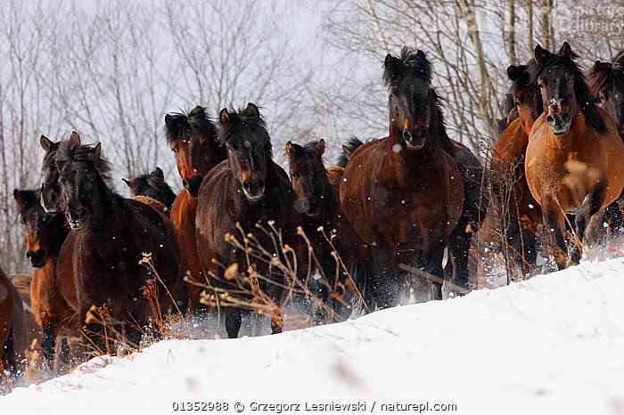 Herd of Carpathian Pony / Hucul (Equus caballus) in snow. Bieszczady National Park, the Carpathians, Poland, March.  ,  EQUINES,EUROPE,GROUPS,HORSES,LOOKING AT CAMERA,MAMMALS,EASTERN EUROPE,NP,POLAND,PONIES,RESERVE,SNOW,VERTEBRATES,National Park  ,  Grzegorz Lesniewski