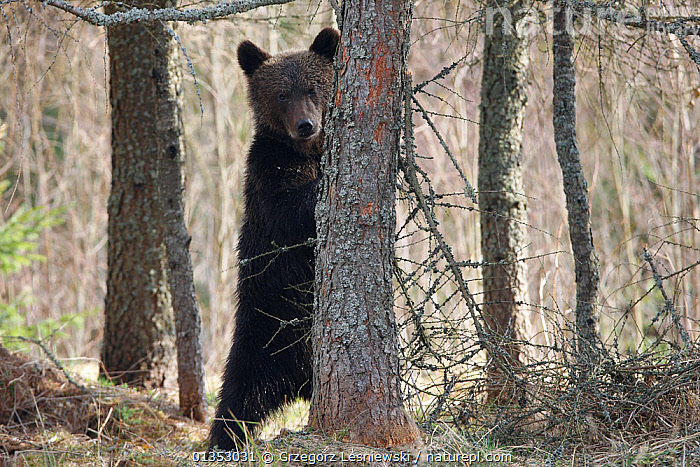 Brown Bear (Ursus arctos) sharpening its claws on a tree. Bieszczady National Park, the Carpathians, Poland, April.  ,  animal behaviour,BEARS,Bieszczady National Park,CARNIVORES,Carpathians,catalogue4,Cautious,CLAWS,EASTERN EUROPE,EUROPE,front view,full length,HABITAT,hind legs,looking at camera,MAMMALS,Nobody,NP,one animal,POLAND,preperation,rear legs,RESERVE,Sharpening,STANDING,tree trunk,TREES,Ursidae,VERTEBRATES,watchful,WILDLIFE,woodland,National Park,PLANTS  ,  Grzegorz Lesniewski