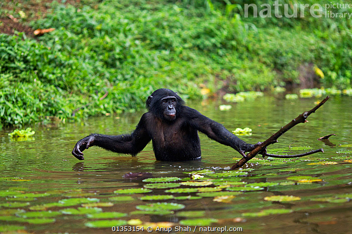 Bonobo (Pan paniscus) adolescent male using a branch to reach food that is beyond his depth, Lola Ya Bonobo Sanctuary, Democratic Republic of Congo. October., GREAT APES,HOMINIDAE,LAKES,MAMMALS,PRIMATES,WATER,BEHAVIOUR,CENTRAL AFRICA,ENDANGERED,MALES,RESERVE,TOOL USING,TROPICAL RAINFOREST,VERTEBRATES,WADING, Anup Shah
