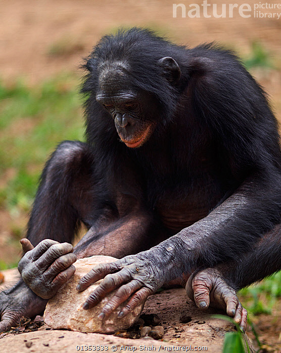 Bonobo (Pan paniscus) male using a rock to crack open nuts, tool use, Lola Ya Bonobo Sanctuary, Democratic Republic of Congo. October., GREAT APES,HOMINIDAE,MAMMALS,PRIMATES,ROCKS,VERTICAL,AFRICA,BEHAVIOUR,CENTRAL AFRICA,ENDANGERED,FEEDING,MALES,RESERVE,TOOL USING,TROPICAL RAINFOREST,VERTEBRATES, Anup Shah