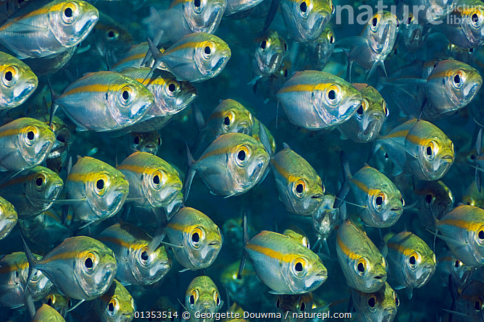 Bigeye Scad (Selarcrumenophthalmus). Misool, Raja Ampat, West Papua, Indonesia.  ,  ASIA, catalogue4, Cautious, close up, EXPRESSIONS, facial expression, FISH, full frame, GROUPS, INDONESIA, large group, large group of animals, many, MARINE, mass, Misool, multitude, Nobody, NP, OSTEICHTHYES, PATTERNS, Raja Ampat, RESERVE, safety in numbers, SCADS, SEALIFE, SOUTH-EAST-ASIA, timid, TROPICAL, UNDERWATER, VERTEBRATES, WEST PAPUA, WILDLIFE,National Park  ,  Georgette Douwma