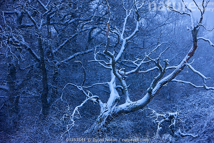 Snow on the trees branches. Cadbury Castle, Somerset, England, January 2010.  ,  BRANCHES,Cadbury Castle,catalogue4,COLD,ENGLAND,EUROPE,forest,FROST,haunting,LANDSCAPES,nature,NIGHT,Nobody,SNOW,Somerset,spooky,Tree,TREES,UK,WINTER,woodland,Weather,PLANTS,United Kingdom  ,  David Noton
