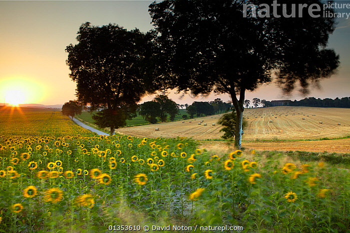 A field of sunflowers near Castelnaudary at sunrise. Aude, Languedoc-Roussillon, France, July 2010.  ,  BUILDINGS,FLOWERS,LANDSCAPES,SUNFLOWERS,SUNRISE,ATMOSPHERIC,COUNTRYSIDE,EUROPE,FRANCE  ,  David Noton