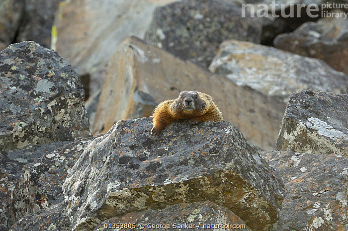 Yellow-bellied marmot (Marmota flaviventris) climbing over a rock. Yellowstone National Park, Wyoming, USA, May.  ,  EXPRESSIONS,HUMOROUS,MAMMALS,PORTRAITS,ROCKS,USA,MARMOTS,NORTH AMERICA,NP,RESERVE,RODENTS,VERTEBRATES,WYOMING,Concepts,National Park  ,  George Sanker