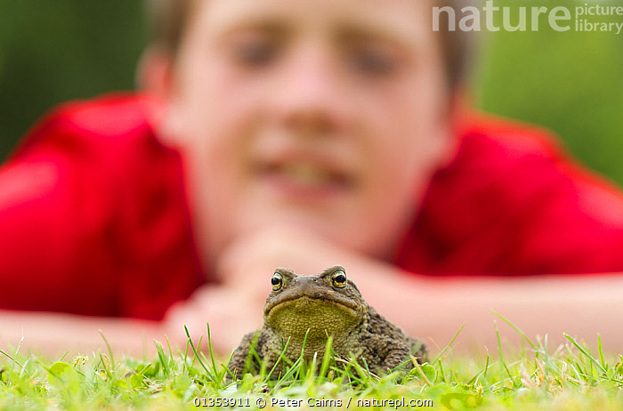 Common european toad (Bufo bufo) in garden with young boy watching it, Scotland, UK  ,  AMPHIBIANS,ANURA,BOY,CAUCASIAN,CHILD,CHILDREN,EUROPE,GARDENS,HUMOROUS,LOOKING AT CAMERA,OUTDOORS,PEOPLE,SCOTLAND,TOADS,UK,VERTEBRATES,Concepts,United Kingdom  ,  Peter Cairns