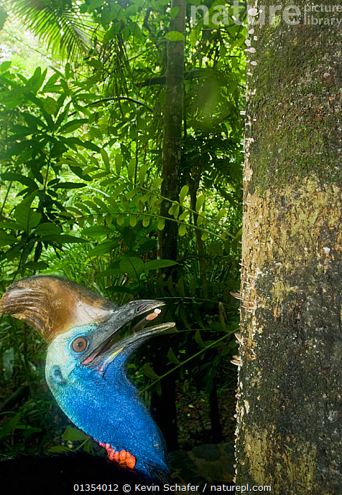 Southern / Double-wattled cassowary (Casuarius casuarius) wild, adult male feeding on mushroom from tree trunk, Atherton Tablelands, Queensland, Australia, November  ,  animal head,animals in the wild,Atherton Tablelands,AUSTRALIA,AUSTRALIAN CASSOWARY,BEHAVIOUR,BIRDS,BLUE,CASSOWARIES,catalogue4,close up,ENDANGERED,FEEDING,FLIGHTLESS BIRDS,forest,FUNGI,FUNGUS,head back,HEADS,holding in beak,Hunger,MALES,Mushroom,Nobody,NP,one animal,plumage,PROFILE,queensland,RESERVE,side view,tree trunk,TROPICAL RAINFOREST,VERTEBRATES,VERTICAL,Vulnerable,WILDLIFE,woodland,National Park  ,  Kevin Schafer