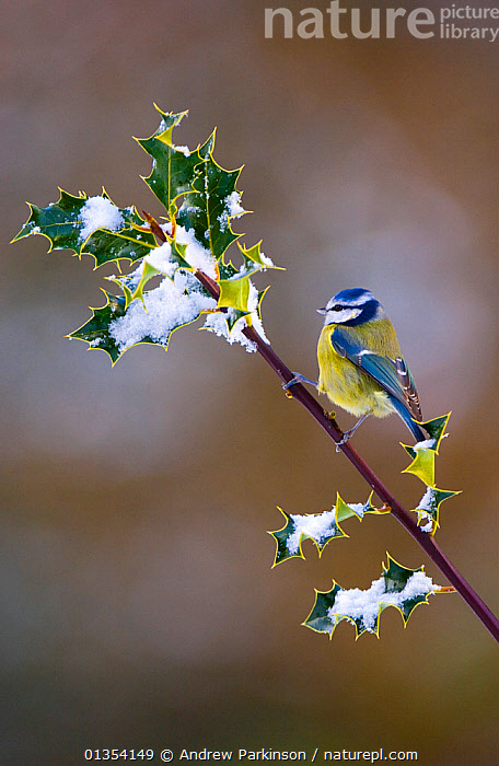 Blue tit (Parus caerulus) adult perched on snow covered holly, Mid Wales, UK, February., BIRDS,BRITISH,COPYSPACE,LEAVES,PARIDAE,PARUS,PLANTS,PORTRAITS,SNOW,SONGBIRDS,TITS,UK,VERTEBRATES,VERTICAL,WALES,WINTER,Europe,United Kingdom, Andrew Parkinson