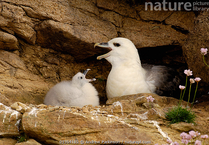 Fulmar (Fulmarus glacialis) chick mimics his parents cackling display. Shetland Islands, Shetland, UK, July., BABIES,BEHAVIOR,BIRDS,BONDING,BRITISH,CALLING,CHICKS,CLIFFS,COASTAL,COMMUNICATION,EUROPE,FAMILIES,HUNGRY,JUVENILE,MIMIC,NESTS,PARENTAL,PETRELS,PROCELLARIIDAE,SCOTLAND,SEABIRDS,SHETLAND,UK,VERTEBRATES,VOCALISATION,YOUNG,Geology,Concepts,United Kingdom, Andrew Parkinson