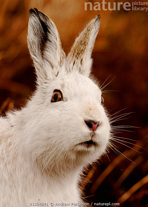 Mountain hare (Lepus timidus) alert portrait in white winter coat, Monadhliath Mountains, Scotland, UK, February., alert,animal head,animal portrait,anxious,British,catalogue4,Cautious,close up,comical,Curious,EARS,ears pricked,expression,EYES,FACES,hare,HARES,HEADS,lagomorphs,looking at camera,MAMMALS,Monadhliath,Monadhliath Mountains,Nobody,NOSES,one,one animal,PORTRAITS,Rabbit,SCOTLAND,suspicious,UK,VERTEBRATES,VERTICAL,watchful,WHITE,white colour,WILDLIFE,WINTER,winter coat,Europe,United Kingdom, Andrew Parkinson