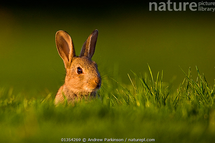 European rabbit (Oryctolagus cuniculus) young rabbit sits alert in grass, Norfolk, UK, May.  ,  BRITISH,COPYSPACE,EARS,FACES,HEADS,JUVENILE,LAGOMORPHS,MAMMALS,NORFOLK,PORTRAITS,RABBITS,SPRING,UK,VERTEBRATES,YOUNG,Europe,United Kingdom  ,  Andrew Parkinson