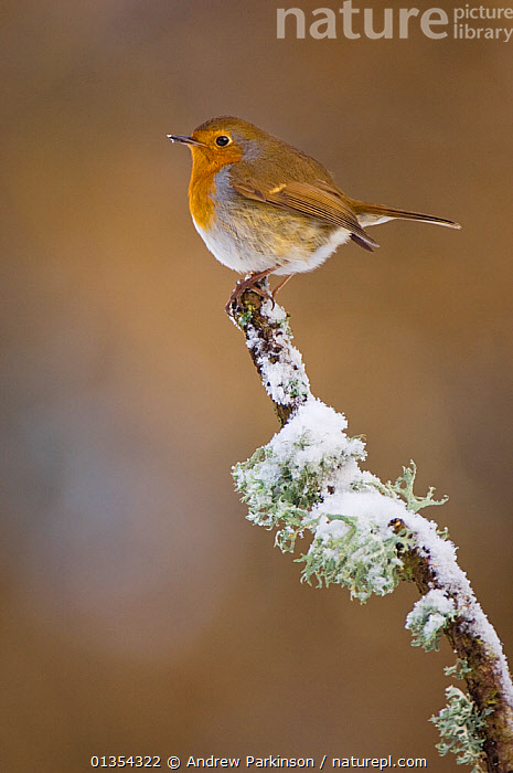 Robin (Erithacus rubecula) perched on a snow covered branch, Mid Wales, UK, February., BIRDS,BRANCHES,BRITISH,COPYSPACE,FROST,LICHEN,MUSCICAPIDAE,PERCHING,PORTRAITS,PROFILE,SITTING,SNOW,SONGBIRDS,UK,VERTEBRATES,VERTICAL,WALES,WINTER,Weather,Europe,United Kingdom, Andrew Parkinson