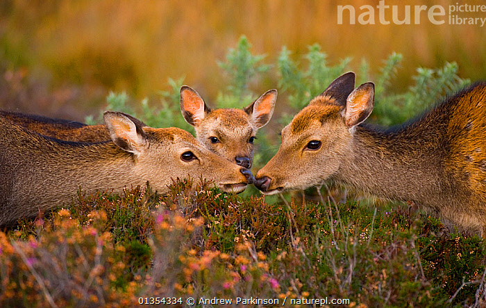 Sika deer (Cervus nippon) adult and subadult touch noses, a young calf looks on, introduced species, Arne RSPB Reserve, Dorset, UK, October., AFFECTION,AFFECTIONATE,ARTIODACTYLA,AUTUMN,BONDING,BRITISH,CERVIDAE,CERVIDS,CUTE,DEER,DORSET,EARS,FAMILIES,FEMALE,FEMALES,GROUPS,HABITAT,HEATHLAND,IMMATURE,INTERACTION,JUVENILE,KISSING,MAMMAL,MAMMALS,NIPPON,NON NATIVE,RESERVE,RSPB,SENSITIVE,SOCIAL BEHAVIOUR,SUBADULT,THREE,TOUCHING,UK,VERTEBRATES,YOUNG,Europe,United Kingdom, Andrew Parkinson