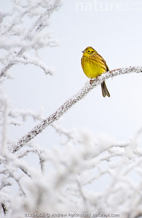 Yellowhammer (Emberiza citrinella) perched on frost covered branches, Dumfries and Galloway, Scotland, UK, December.  ,  BIRDS,BRANCHES,BRITISH,BUNTINGS,COLD,DUMFRIES,EMBERIZIDAE,FROST,FROZEN,GALLOWAY,ONE,PERCHING,PORTRAITS,PROFILE,SITTING,SNOW,SONGBIRDS,UK,VERTEBRATES,VERTICAL,WINTER,YELLOW,Weather,Europe,United Kingdom  ,  Andrew Parkinson