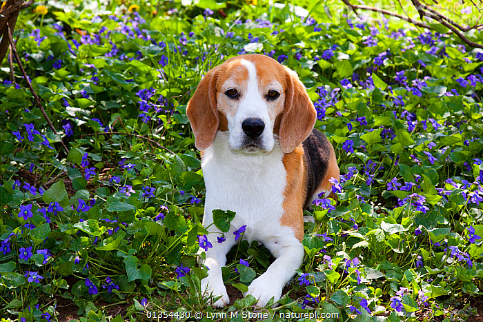 Beagle hound in wild purple Violets, Arcadia, Wisconsin, USA  ,  animal portrait,Arcadia,beagle hound,catalogue4,close up,Dog,DOGS,domestic animal,FLOWERS,garden,hounds,looking at camera,medium dogs,Nobody,one animal,outdoors,PETS,PORTRAITS,PURPLE,resting,scent hounds,scenthounds,SITTING,sunlight,USA,VERTEBRATES,violet,Wildflower,wisconsin,North America,Canids  ,  Lynn M Stone