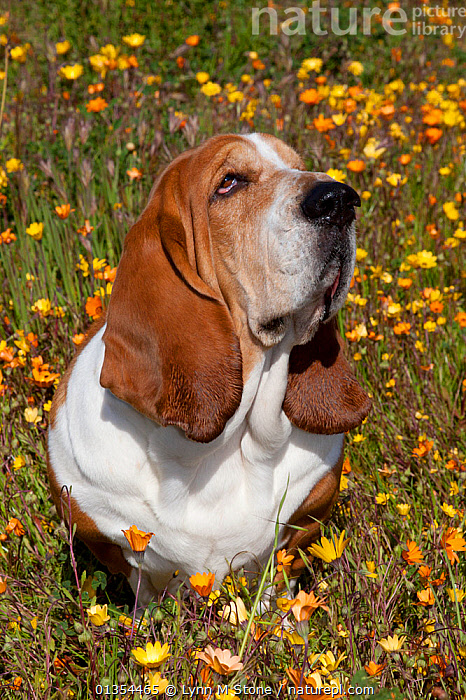 Male Basset hound in patch of flowers, Goleta, California, USA, DOGS,EARS,FACES,FLOWERS,HEADS,HOUNDS,MALES,MEDIUM DOGS,OUTDOORS,PETS,PORTRAITS,SCENT HOUNDS,SCENTHOUNDS,SITTING,VERTEBRATES,VERTICAL,North America,Canids, Lynn M Stone