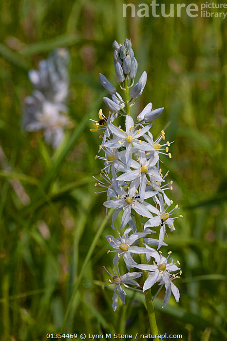 Wild Hyacinth (Camassia scilloides), Lily Family, Kane County, Illinois, USA  ,  FLOWERING,LILIACEAE,MONOCOTYLEDONS,PLANTS,USA,VERTICAL,WILD FLOWERS,North America  ,  Lynn M Stone