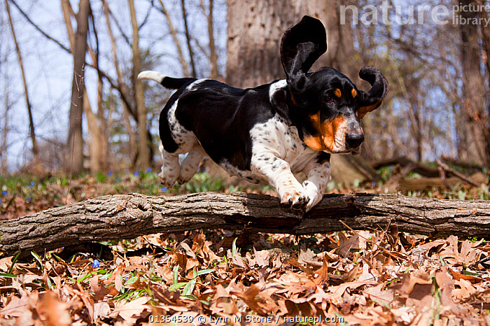 Basset hound hurdling over fallen log in oak woodland, Geneva, Illinois, USA, ACTION,BREEDS,DOGS,DOMESTIC,DOMESTICATED,EARS,HOUNDS,JUMPING,LEAPING,MEDIUM DOGS,MOTION,MOVEMENT,MOVING,OUTDOORS,PETS,PORTRAITS,RUNNING,SCENTHOUNDS,VERTEBRATES,WOODLANDS,North America,Canids, Lynn M Stone
