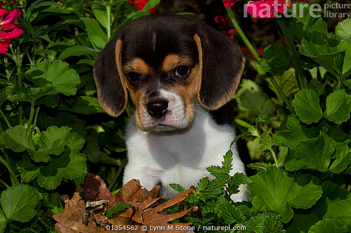 Beagle pup, USA, BABIES,BREEDS,CUTE,DOGS,DOMESTIC,DOMESTICATED,EARS,HOUNDS,JUVENILE,MEDIUM DOGS,OUTDOORS,PETS,PORTRAITS,SCENTHOUNDS,SITTING,VERTEBRATES,YOUNG,North America,Canids, Lynn M Stone