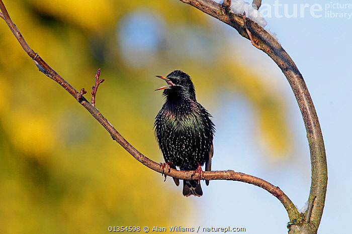 Starling (Sturnus vulgaris) singing from a perch. Cheshire, UK, December., BIRDS,CALLING,ENGLAND,EUROPE,STARLINGS,UK,VERTEBRATES,VOCALISATION,United Kingdom, Alan Williams