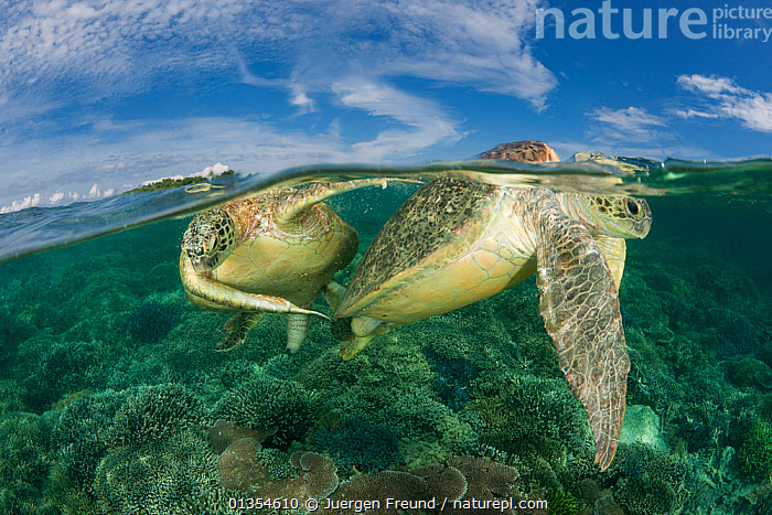 Green turtles (Chelonia mydas) mating over coral reef, Sipadan Island, Sabah, Malaysia, June, Endangered species  ,  ASIA,CHELONIA,coral triangle,CORAL-REEFS,ENDANGERED,INDO-PACIFIC,MALE-FEMALE-PAIR,MARINE,MATING-BEHAVIOUR,REPTILES,SEA-TURTLES,SPLIT-LEVEL,TROPICAL,TURTLES,WWF high15,CHELONIA MYDAS,Animal,Cnidarian,Anthrozoan,Coral,Vertebrate,Reptile,Testitudine,Sea turtles,Green turtle,Animalia,Animal,Wildlife,Cnidaria,Cnidarian,Coelentrerata,Anthozoa,Anthrozoan,Helioporacea,Coral,Vertebrate,Reptilia,Reptile,Chelonii,Testitudine,Cheloniidae,Sea turtles,Turtle,Chelonia,Chelonia mydas,Green turtle,Testudo mydas,Testudo cepediana,Chelonia lachrymata,Two,Nobody,Asia,South East Asia,Close Up,Surface View,Surface Views,Fin,Animal Flipper,Animal Flippers,Fins,Flippers,Reef,Reefs,Sky,Cloud,Outdoors,Open Air,Outside,Day,Nature,Natural,Natural World,Endangered Species,Threatened,Marine,Water Surface,Water,Animal Behaviour,Mating Behaviour,Copulation,Abstract,Abstracts,Borneo island,Borneo,Behaviour,Saltwater,Water level,Two animals,Sabah,Invertebrate,Invertebrates,Marine,Endangered species,threatened,Endangered,JURGEN  ,  Juergen Freund