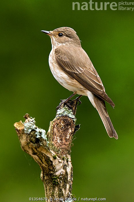 Spotted Flycatcher (Muscicapa striata) perched. West Sussex, England, June.  ,  BIRDS,ENGLAND,EUROPE,FLYCATCHERS,MUSCICAPIDAE,PROFILE,SONGBIRDS,UK,VERTEBRATES,VERTICAL,United Kingdom  ,  Andy Sands
