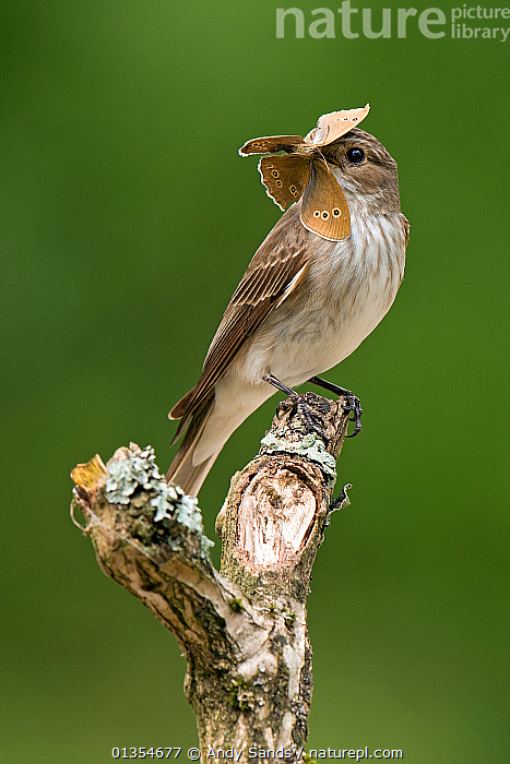 Spotted Flycatcher (Muscicapa striata) perched with ringlet butterfly in bill. West Sussex, England, July. Highly commended, 'Animal Portraits' category, British Wildlife Photography Awards (BWPA) competition 2012.  ,  BEHAVIOUR,BIRDS,BUTTERFLIES,BWPA book 2012,ENGLAND,EUROPE,FLYCATCHERS,INSECTS,MUSCICAPIDAE,PREDATION,prey,songbirds,UK,VERTEBRATES,VERTICAL,Invertebrates,United Kingdom  ,  Andy Sands