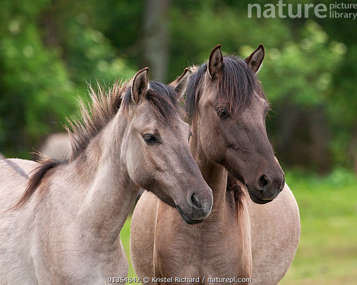 Wild / feral Dulmen ponies (Equus caballus), two  mares on the Duke of Croy's estate, Meerfelder Bruch, North Rhine-Westphalia, Germany, May 2011, EUROPE,FAMILIES,FOAL,GERMANY,HORSES,MAMMALS,MARE,PERISSODACTYLA,PORTRAITS,RESERVE,TWO,VERTEBRATES,Equines, Kristel Richard
