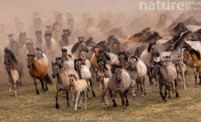 Wild / feral Dulmen ponies (Equus caballus) herd of mares and foals running on the Duke of Croy's estate, Meerfelder Bruch, North Rhine-Westphalia, Germany, May 2011, ACTION,BEHAVIOUR,DUST,EUROPE,FOAL,GERMANY,GROUPS,HIGH ANGLE SHOT,HORSES,LARGE GROUP,MAMMALS,MARE,PERISSODACTYLA,RESERVE,RUNNING,VERTEBRATES,Equines, Kristel Richard