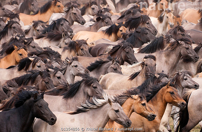 Wild / feral Dulmen ponies (Equus caballus) close up of herd of mares and foals running on the Duke of Croy's estate, Meerfelder Bruch, North Rhine-Westphalia, Germany, May 2011  ,  ACTION,BACKGROUNDS,BEHAVIOUR,EUROPE,FOAL,GERMANY,GROUPS,HORSES,LARGE GROUP,MAMMALS,MARE,PATTERNS,PERISSODACTYLA,RESERVE,RUNNING,VERTEBRATES,Equines  ,  Kristel Richard