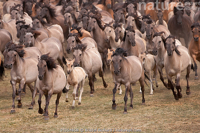 Wild / feral Dulmen ponies (Equus caballus) herd of mares and foals running on the Duke of Croy's estate, Meerfelder Bruch, North Rhine-Westphalia, Germany, May 2011  ,  ACTION,BEHAVIOUR,EUROPE,FAMILIES,FOAL,GERMANY,GROUPS,HORSES,LARGE GROUP,MAMMALS,MARE,PERISSODACTYLA,RESERVE,RUNNING,VERTEBRATES,Equines  ,  Kristel Richard