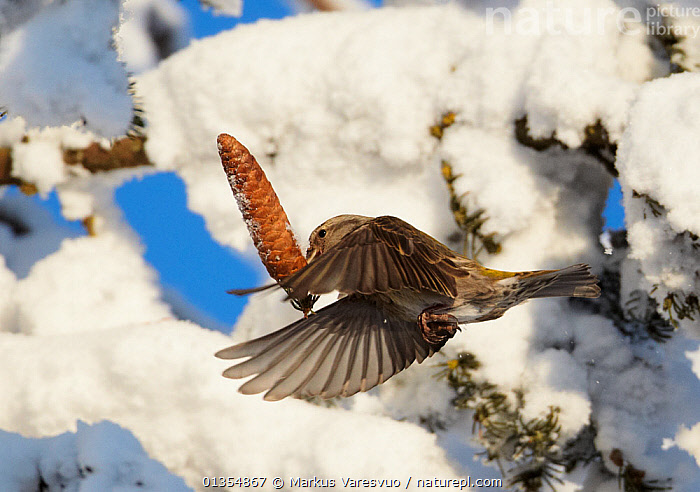 Common Crossbill (Loxia curvirostra) carrying off a cone, dug from beneath heavy snowfall on branches. Kuusamo, Finland, February. Magic Moments book plate, page 97.  ,  BEHAVIOUR,BIRDS,EUROPE,FINCHES,FINLAND,FLYING,FORAGING,PINECONES,SCANDINAVIA,SNOW,VERTEBRATES  ,  Markus Varesvuo
