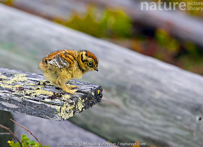 Ptarmigan (Lagopus mutus) chick on lichen covered wood. Ivalo, Finland, June. Magic Moments book plate, page 136., BABIES,BIRDS,CAMOUFLAGE,CHICKS,CUTE,EUROPE,FINLAND,GALLIFORMES,GAME BIRDS,GROUSE,LAGOPUS MUTA,PHASIANIDAE,SCANDINAVIA,VERTEBRATES, Markus Varesvuo