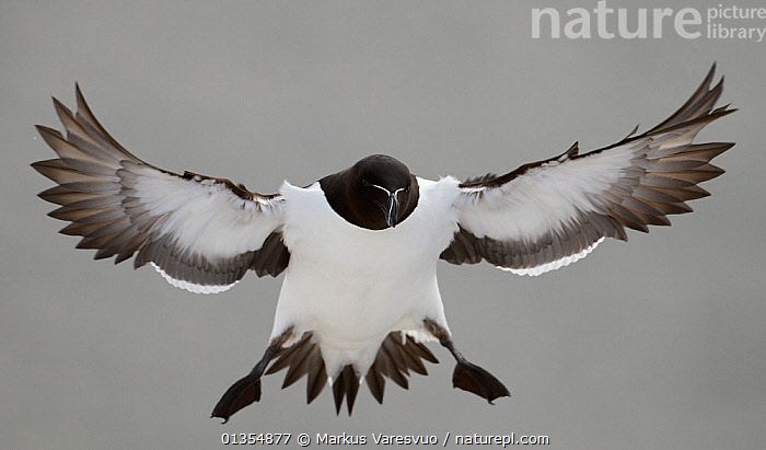 Razorbill (Alca torda) coming in to land. Norway, March. Magic Moments book plate, page 106-107., ALCIDAE,AUKS,BIRDS,BLACK,CUTOUT,EUROPE,FLYING,FULL FRAME,NORWAY,SCANDINAVIA,SEABIRDS,VERTEBRATES,WHITE, Markus Varesvuo