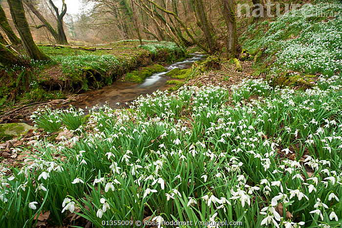 Snowdrops (Galanthus nivalis) flowering on woodland floor. Snowdrop Valley, near Wheddon Cross, Exmoor National Park, Somerset, UK, February., AMARYLLIDACEAE,COUNTRYSIDE,EUROPE,FLOWERS,FORESTS,LANDSCAPES,MONOCOTYLEDONS,PLANTS,SPRING,STREAMS,UK,WOODLANDS,United Kingdom, Ross Hoddinott
