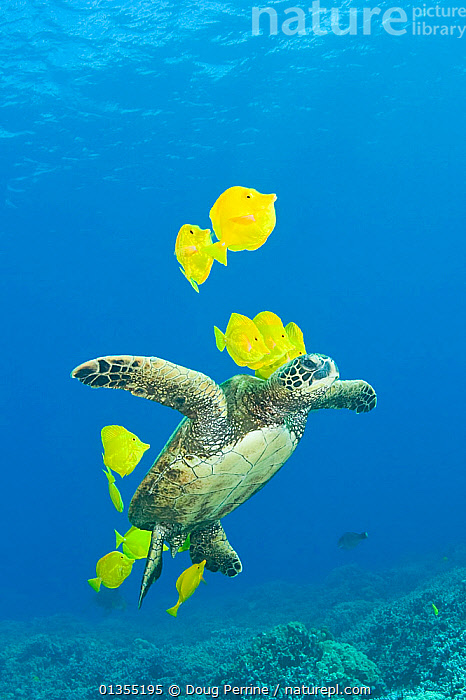 Nature Picture Library - Green sea turtle (Chelonia mydas