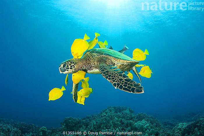 Green sea turtle (Chelonia mydas) being cleaned of algae by Yellow tangs / surgeonfish (Zebrasoma flavescens), Puako, Kona, Hawaii, USA, June, Endangered species  ,  ACANTHURIDAE,assistance,BEHAVIOUR,BLUE,bright colour,catalogue4,CHELONIA,cleaning,ENDANGERED,FEEDING,FISH,FRIENDSHIP,GROUPS,Hawaii,Kona,MARINE,medium group of animals,MIXED SPECIES,mutualism,Nobody,on the move,PACIFIC,Puako,REPTILES,SEALIFE,SEA TURTLES,SURGEONFISH,SWIMMING,SYMBIOSIS,TROPICAL,TURTLES,UNDERWATER,USA,WATER,WILDLIFE,YELLOW,Yellow Tang,Zebrasoma Flavescens,Concepts,Partnership,North America  ,  Doug Perrine