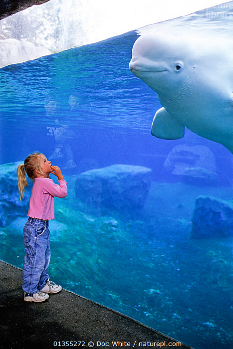 Girl in aquarium watching Beluga  / White Whale (Delphinapterus leucas) in aquarium. Captive. Model released.  ,  animal theme,AQUARIUM,ARCTIC,awe,beluga,beluga whale,CANADA,captive animal,casual clothing,catalogue4,Caucasian,CETACEANS,CHILDREN,Delphinapterus,face to face,fear,friendly,full length,girl,glass material,INTERACTION,LARGE,leucas,looking up,MAMMALS,model,NORTH-AMERICA,one animal,one girl only,one person,PEOPLE,POLAR,ponytail,release,SCALE,side view,SMALL,SMILING,STANDING,VERTEBRATES,VERTICAL,view through,watching,whale,WHALES,DELPHINAPTERUS LEUCAS,,,  ,  Doc White